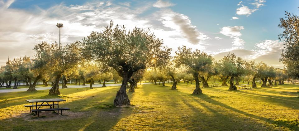 Olivenanbau Beitragsbild