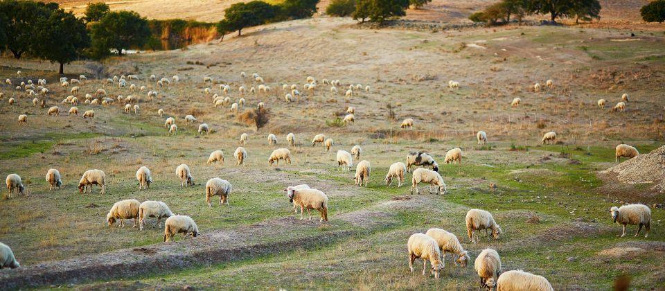 Schafe auf Sardinien