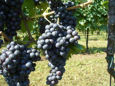 Weinanbau Salice Saletino 01_400-300